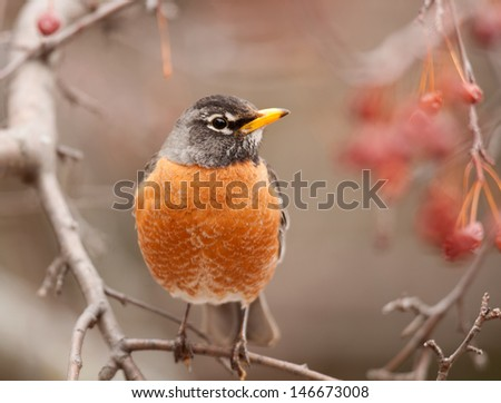 Front view of American robin, turdus migratorius, perched on branch of ash tree with orange-red berries