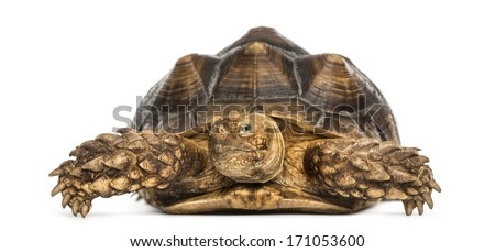 Front view of an African Spurred Tortoise, Geochelone sulcata, isolated on white - stock photo