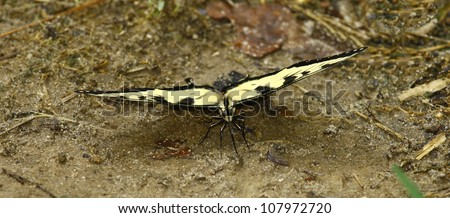 Front view of an Eastern Tiger Swallowtail Butterfly on the ground eating something with room for your text.