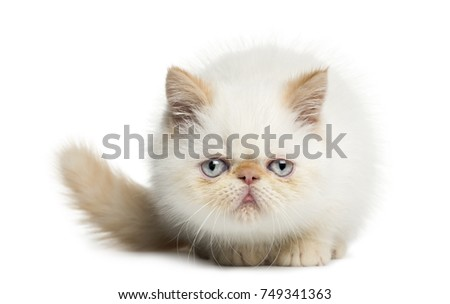 Front view of an Exotic Shorthair kitten, lying, looking at the camera, 2,5 months old, isolated on white