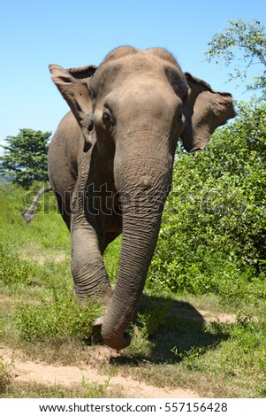 Front view of Asian elephant in movement, Sri Lanka