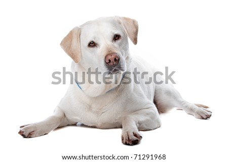 Front view of beautiful Labrador retriever dog isolated on a white background - stock photo