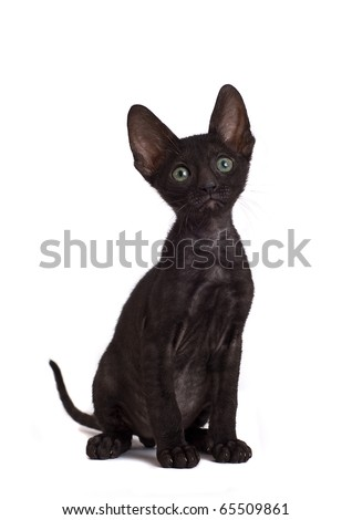 Front view of Cornish Rex kitten - stock photo