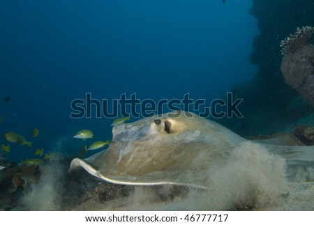 Front  view of Feathertail stingray (Pastinachus sephen) on a sandy ocean floor.Red Sea, Egypt