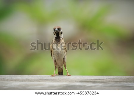 front view of full body eurasian tree sparrow with green blur background - stock photo