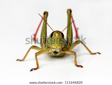 front view of grasshopper isolated on white background - stock photo