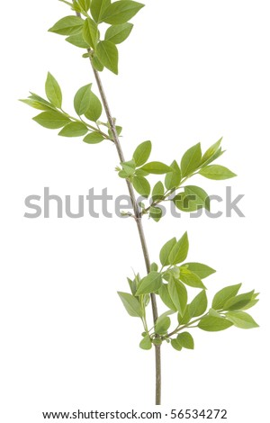 front view of green branch leaves on white background - stock photo