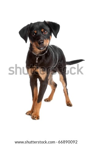 Front view of mixed breed puppy standing and looking at camera, isolated on white background
