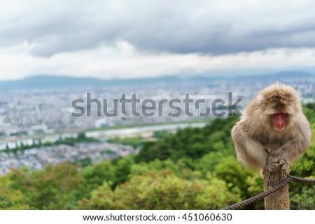 Front view of Monkey looking down in Arashiyama mountain, Kyoto - stock photo