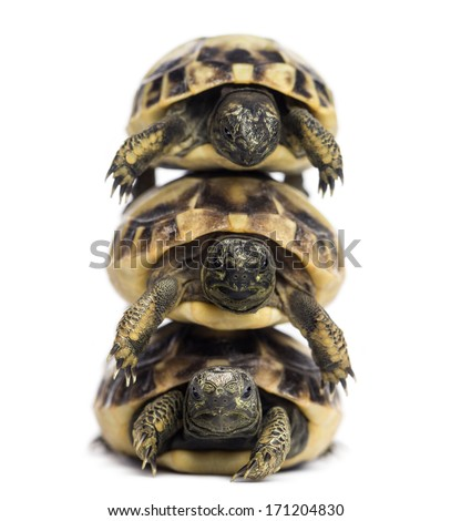 Front view of three baby Hermann's tortoise piled up, Testudo hermanni, isolated on white - stock photo
