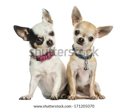 Front view of two Chihuahuas wearing collars, sitting, looking at the camera, 3 years old, isolated on white - stock photo
