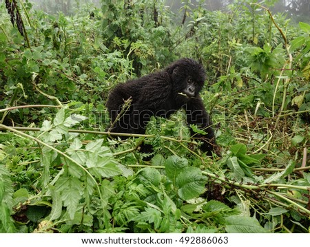 Front view of young mountain gorilla in the wilderness of the forest