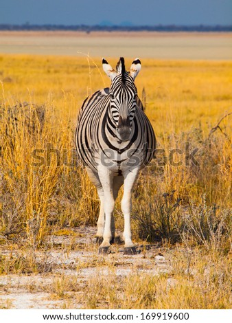 Front view of zebra in sunny day