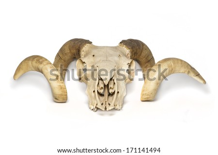Front view ram skull - stock photo