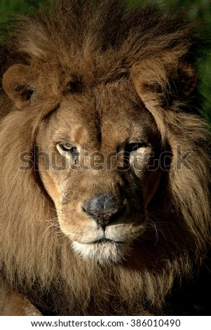 """Frontal face shot of mature male lion. """"face to Face""""  - stock photo"""