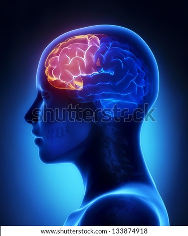 Frontal lobe - female brain anatomy lateral view - stock photo