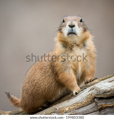 Frontal Portrait of a Prairie Dog