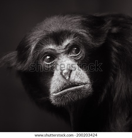 Frontal Portrait of a Siamang
