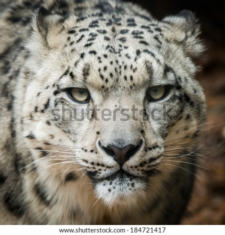 Frontal portrait of Snow Leopard