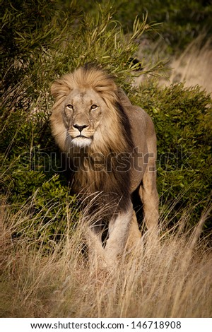 Frontal shot of a Male Lion during the Golden Hour - stock photo