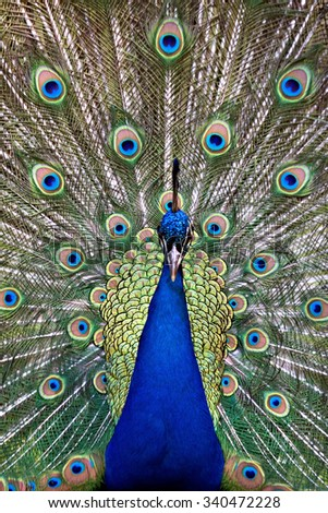 Frontal view of a colorful and vivid blue peacock / peafowl bird displaying extended vibrant, iridescent colored, eye-spotted tail feathers. - stock photo