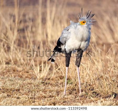Frontal view of a Secretary bird - stock photo