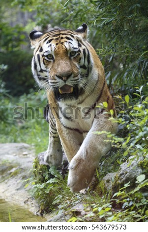 Frontal view of a siberian tiger or Amur tiger, Panthera tigris altaica, approaching to the camera.