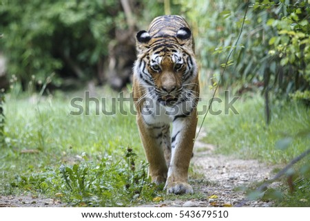 Frontal view of a siberian tiger or Amur tiger, Panthera tigris altaica, moving in the forest.