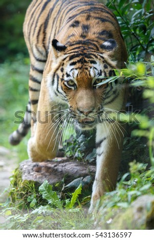Frontal view of a siberian tiger or Amur tiger, Panthera tigris altaica, pointing to the camera.