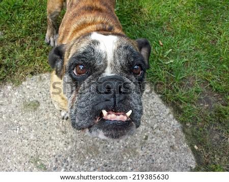 frontal view of an English Bulldog - stock photo