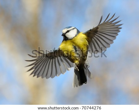 Frontal view of flying Blue Tit/Nice flight of nice bird - stock photo