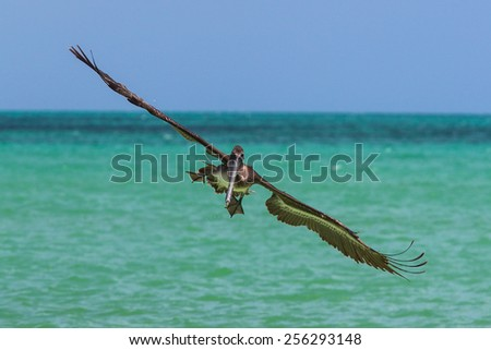Frontal view of pelican approaching in flight with wings spread - stock photo