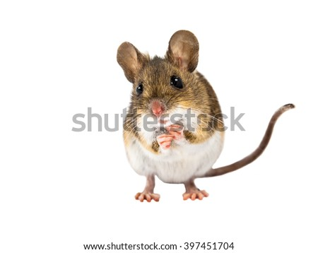 Frontal view of Wood mouse (Apodemus sylvaticus) standing on white background - stock photo