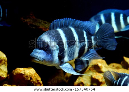 Frontosa Blue-zaire (Moba) in glass tank - stock photo