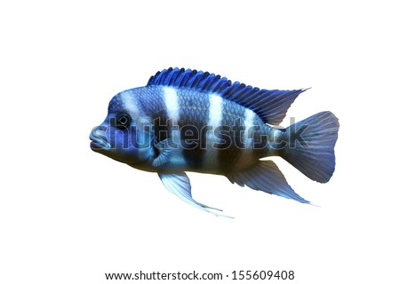 Frontosa Blue-zaire (Moba) in white background - stock photo
