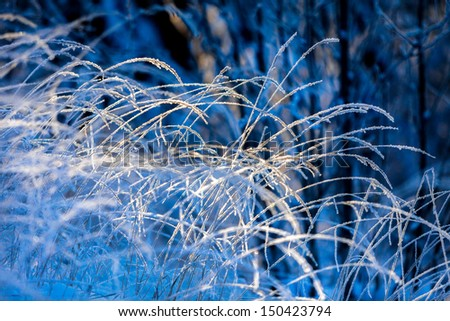 Frost-covered hays in sunshine against blue background - stock photo