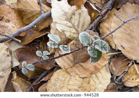 Frost on a few green leaves; background is farmed by fallen yellow and brown leaves