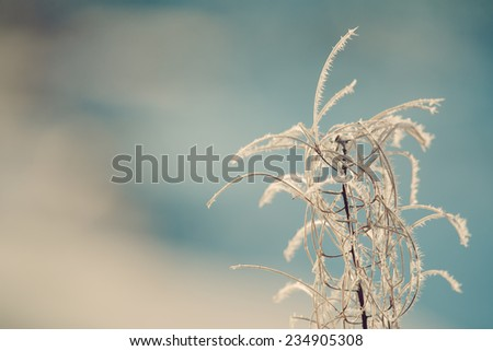 Frost on a winter fireweed plant close up with blue in the background. - stock photo