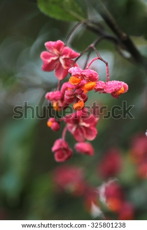 Frost on Euonymus europaeus, known as spindle, and also as European spindle and common spindle - stock photo