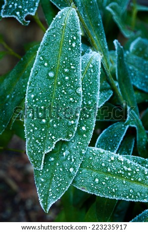 Frost on laurel leaves