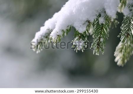 Frost on Pine Tree - stock photo
