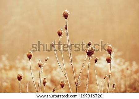 Frost on Thistle - stock photo
