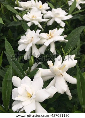 Frost proof gardenia plants in full bloom with white flowers.