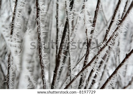 Frost spikes on branches of a bush.