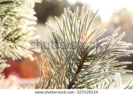 frost, the first frost snowy landscape trees and pine trees, ice crystals, the sun - stock photo