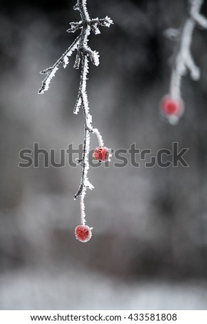 Frosted berry on the tree - stock photo