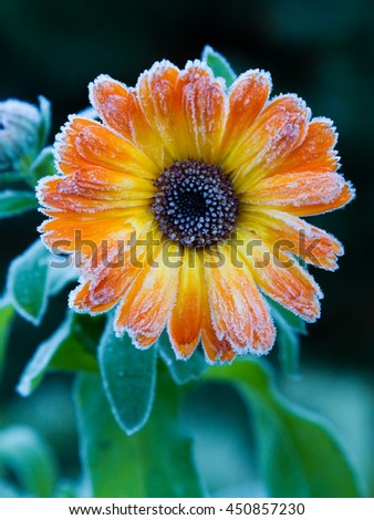 Frosted Calendula bloom in the early fall season  - stock photo