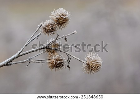 Frosted thistle Natural winter background - stock photo