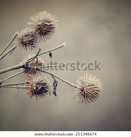 Frosted thistle Natural winter background