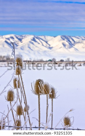 Frosted Thistle with Mountain in the Background - stock photo